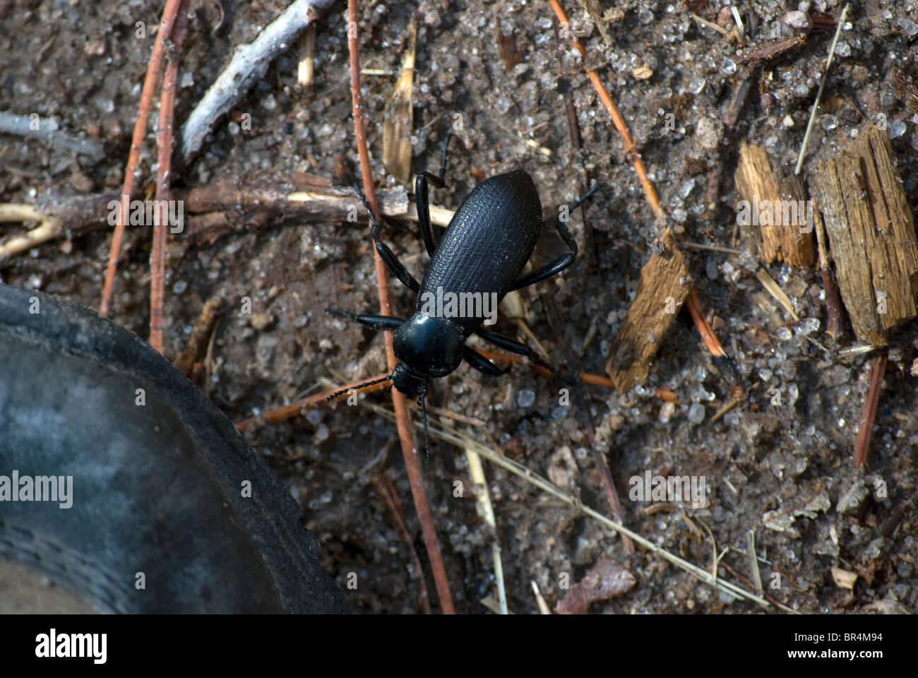 Ein stinken Käfer, bekannt als ein Pincate Käfer (Eleodes Obscurus) nähert sich die Sohle eines Schuhs. Stockbild
