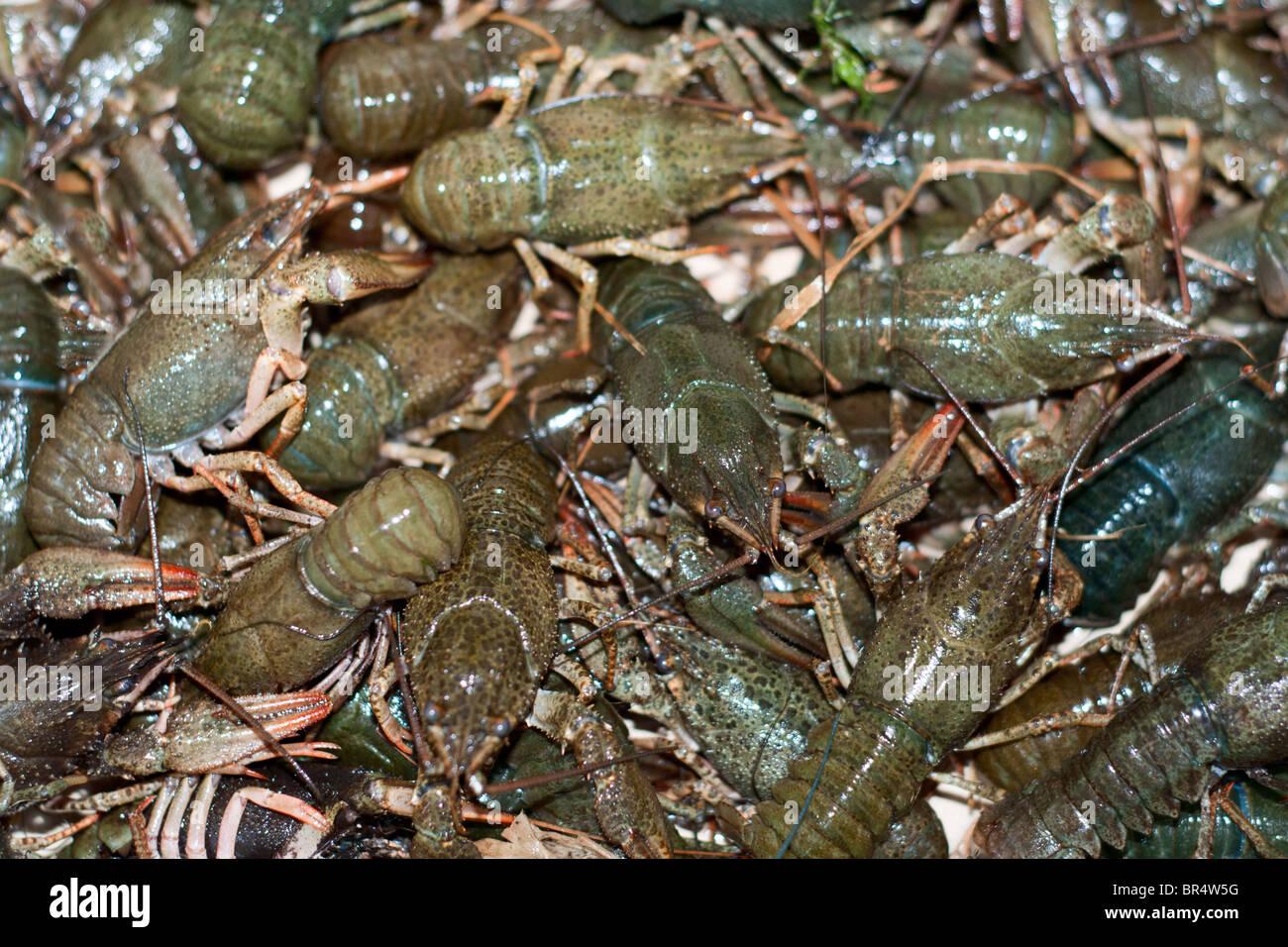 viele live frische grüne Langusten Stockbild