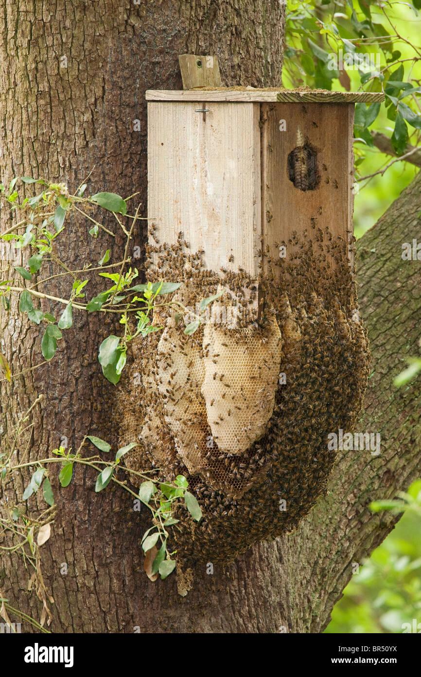 wilde honigbiene bienenstock im und am vogel nistkasten auf eiche stockfoto bild 31457998 alamy. Black Bedroom Furniture Sets. Home Design Ideas
