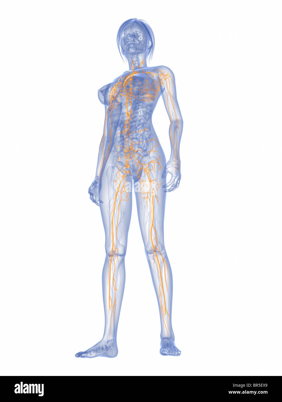 Fantastisch Weiblich Lymphsystem Ideen - Menschliche Anatomie Bilder ...