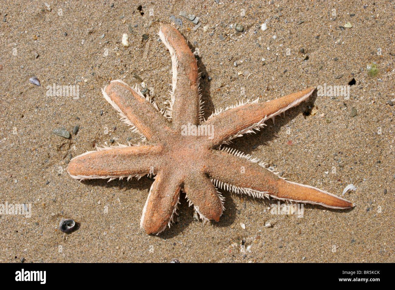 Sieben bewaffnete Seestern (Luidia Ciliaris: Luidiidae) auf Sand an den sehr niedrigen Gezeiten, UK ausgesetzt. Stockbild
