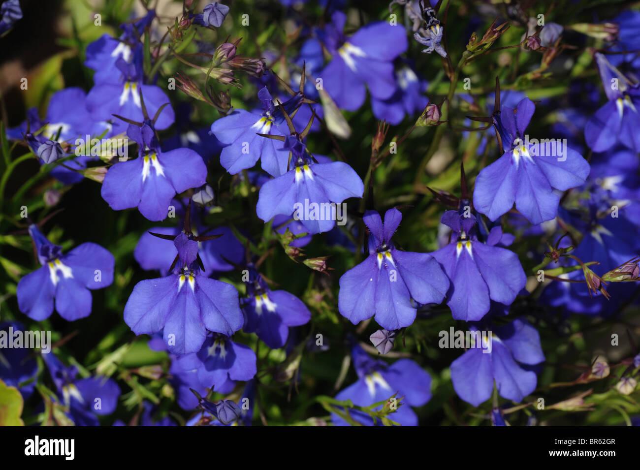 garten container, nachgestellte blau lobelia erinus in blume im garten-container, Design ideen