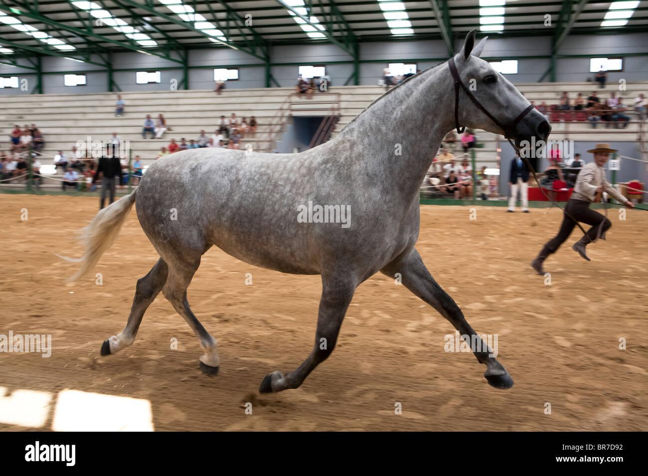 Morphologische Wettbewerb reinrassigen spanischen Pferden, Spanien Stockbild