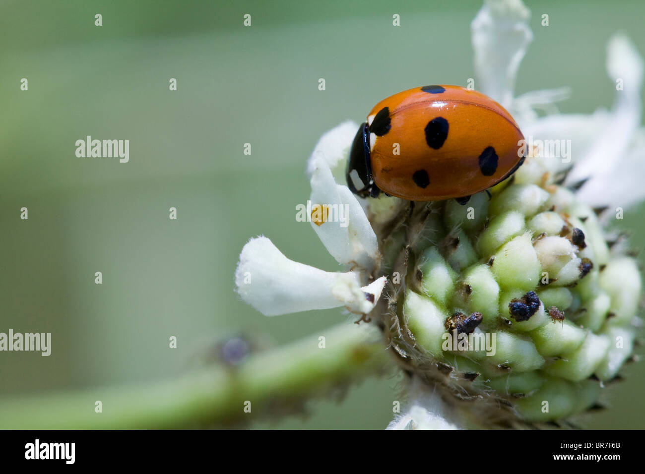 Marienkäfer Auf Weiße Blume Stockfoto Bild 31513059 Alamy