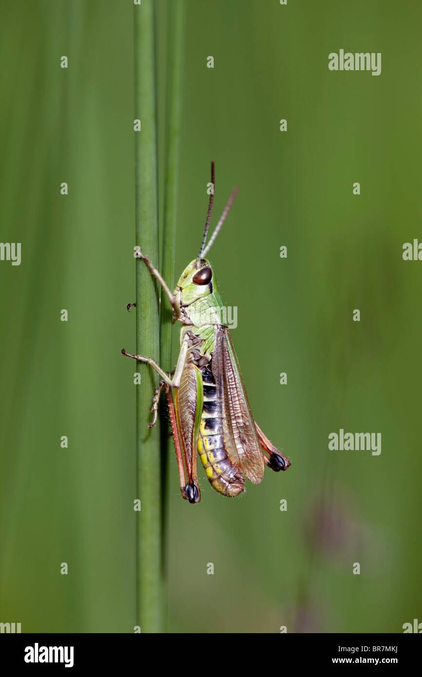 Meadow Grasshopper; Chorthippus Parallelus; Stockbild