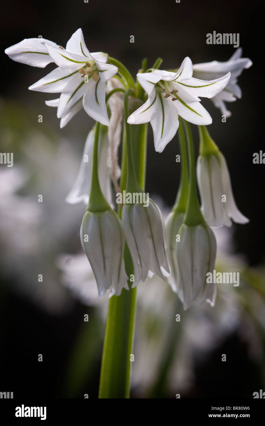 Allium triquetrum Stockbild