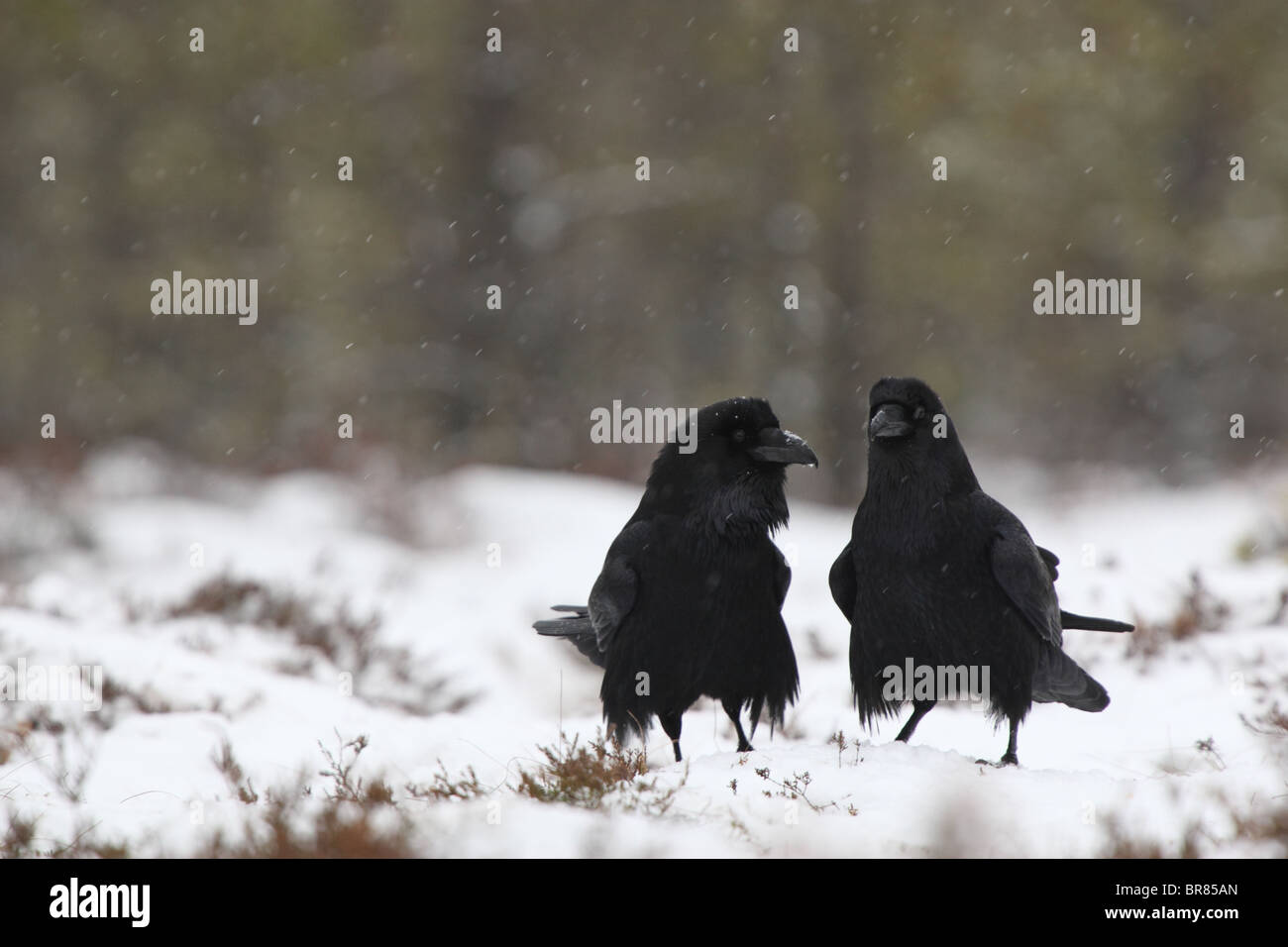 Kolkrabe (Corvus Corax) in Schneefall den Hof. Paarungszeit. Stockbild