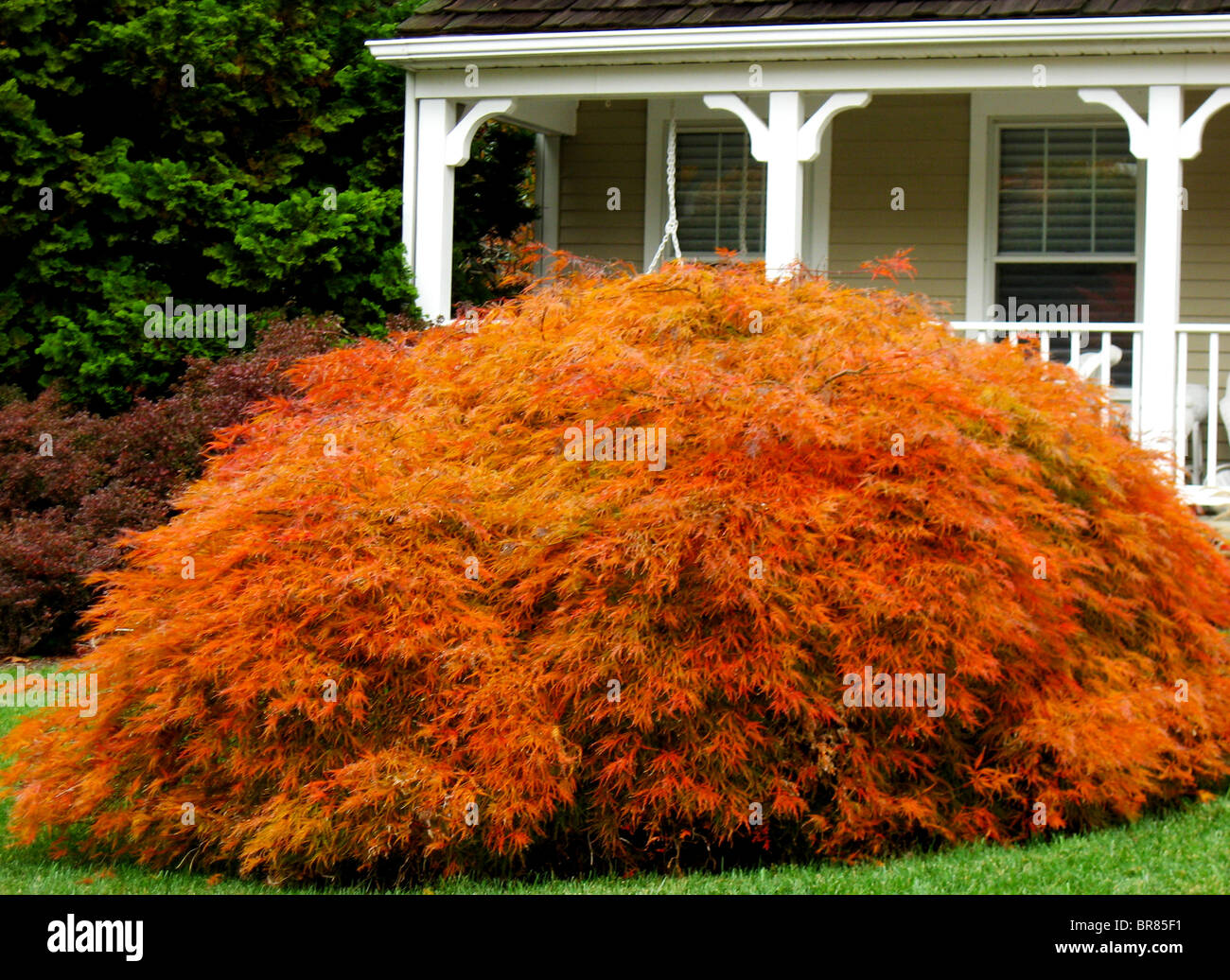 Maple Bush Stockfotos Maple Bush Bilder Alamy