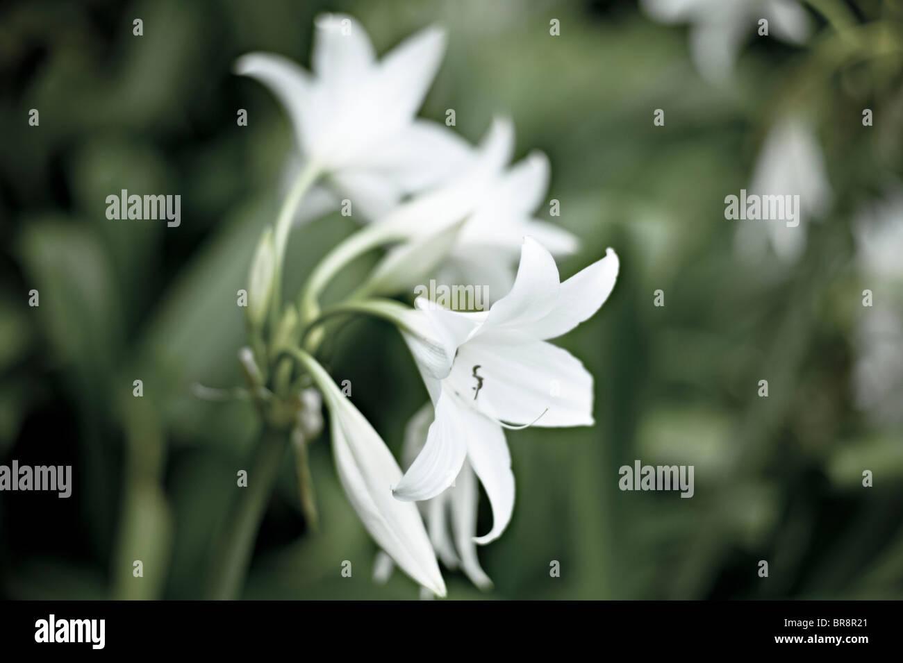 Weiße Lilien Stockbild