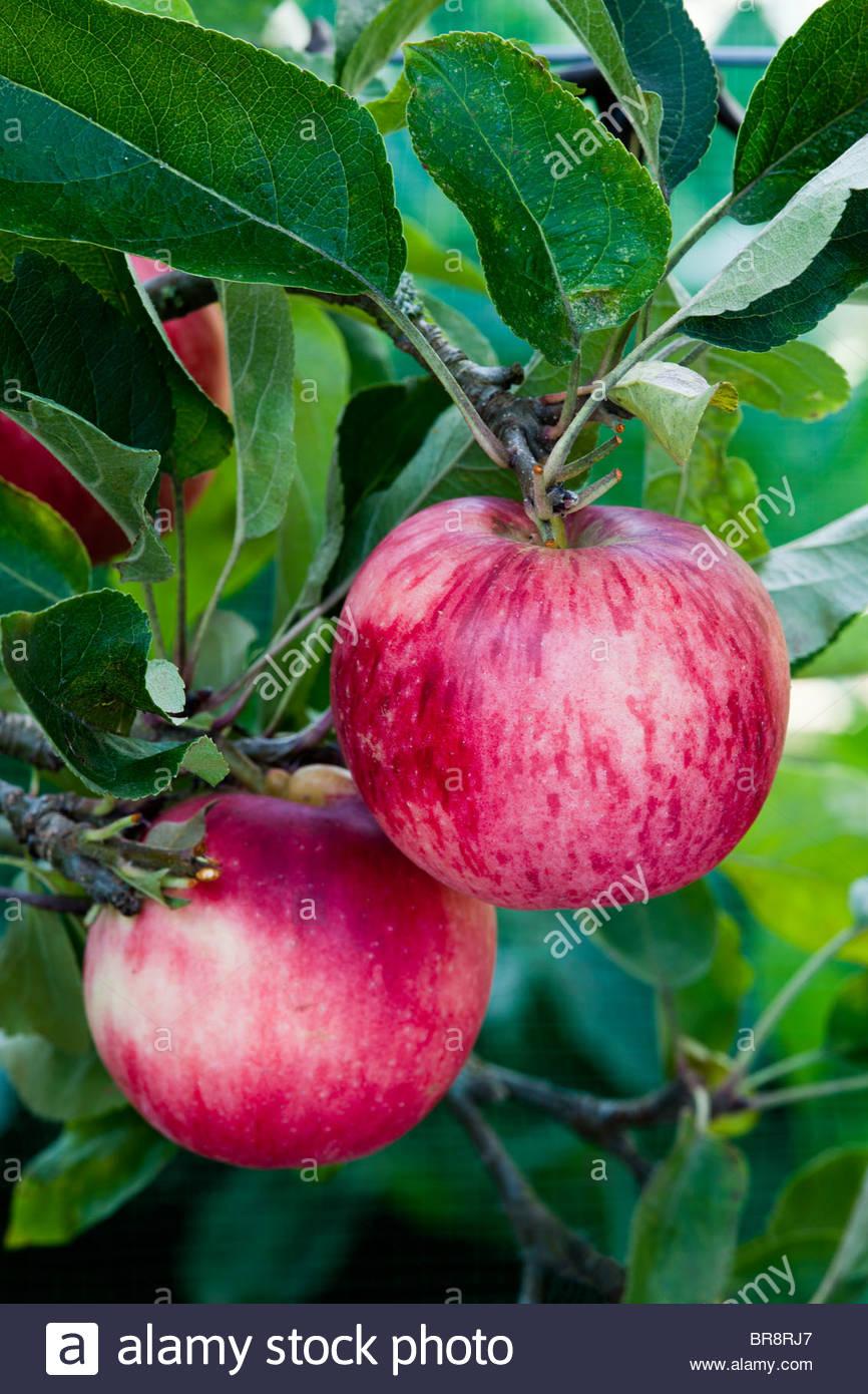 Apple Sweet Gesellschaft Herbst Laub essbare Frucht Baum September rot rosa Küche Garten Pflanze Stockbild