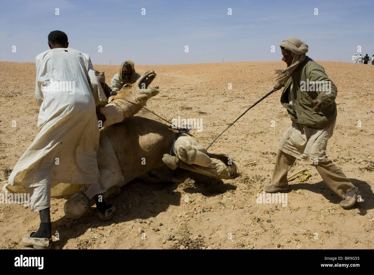 Die Haltestelle Dongola Sudan ist ein guter Zeitpunkt für Kamel Fuß ...
