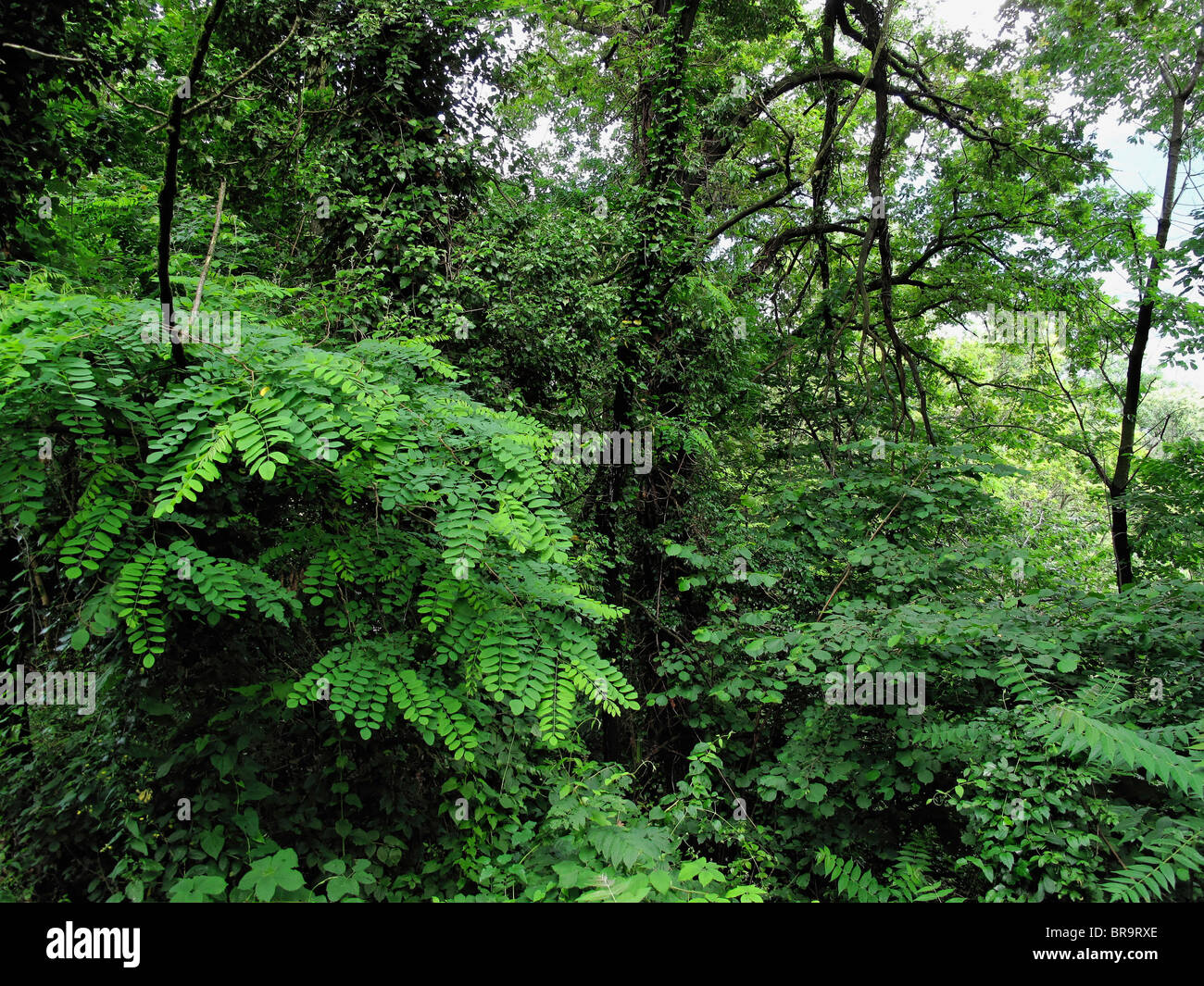 üppige Vegetation nach Regenschauer (in der Nähe von Dorf von Ascona) - Kanton Tessin - Schweiz Stockbild