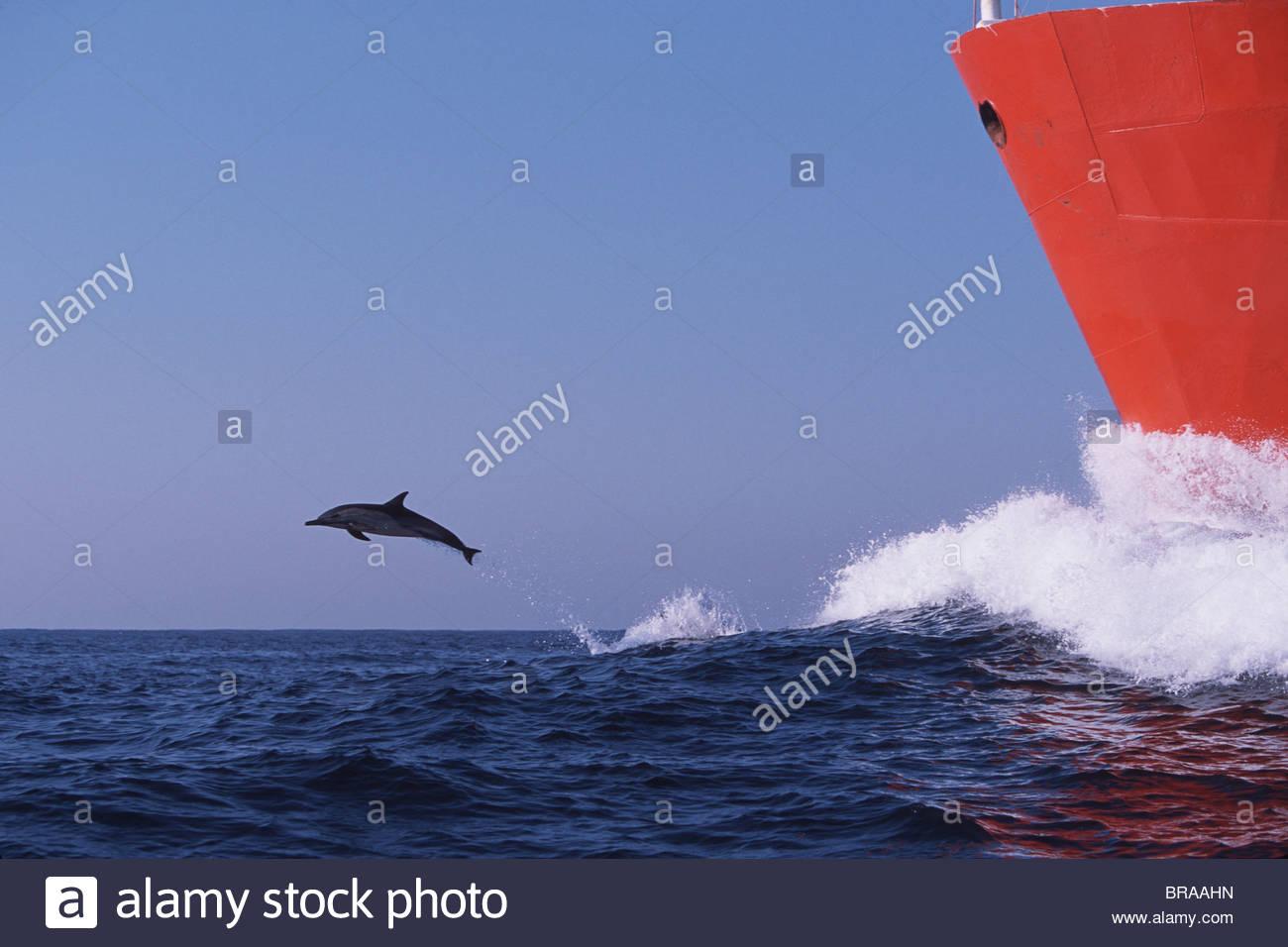 langer schnabel gemeiner delfin springen in folge der bogen der