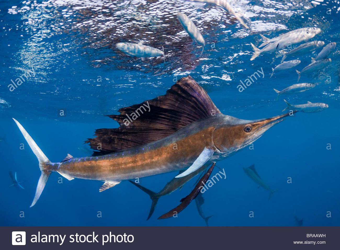 Atlantische Fächerfisch {Istiophorus Albicans} angreifen Köder Ball der spanischen Sardinen {Sardinella Stockbild