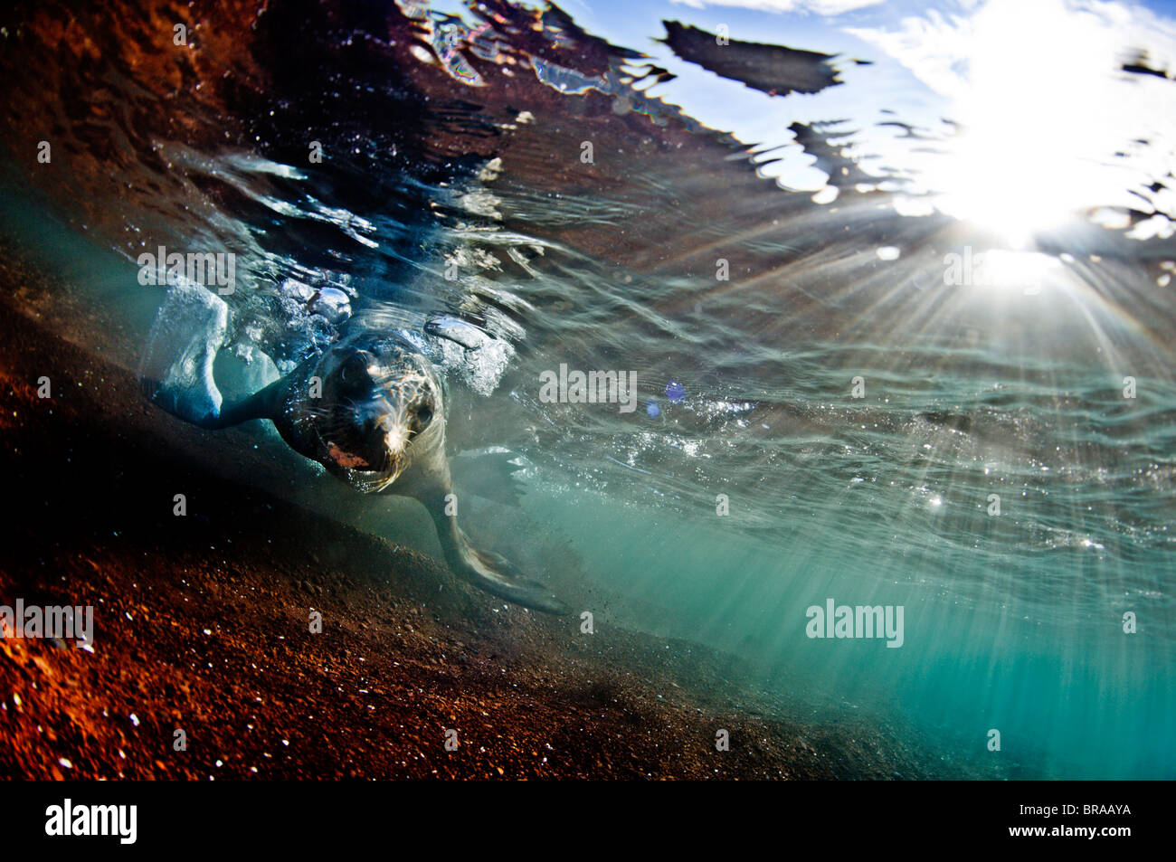Ein Seelöwe in den seichten Gewässern um die Insel Rabida, Galapagos, Ecuador, Südamerika Stockbild