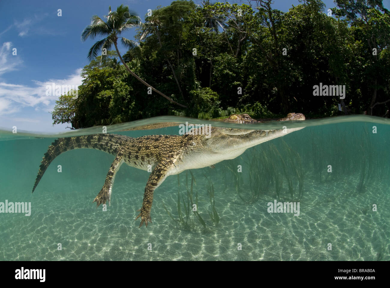 Salzwasser-Krokodil (Crocodylus Porosus) schwimmen auf der Wasseroberfläche, auf zwei Ebenen, Neu-Guinea, Indo Stockbild