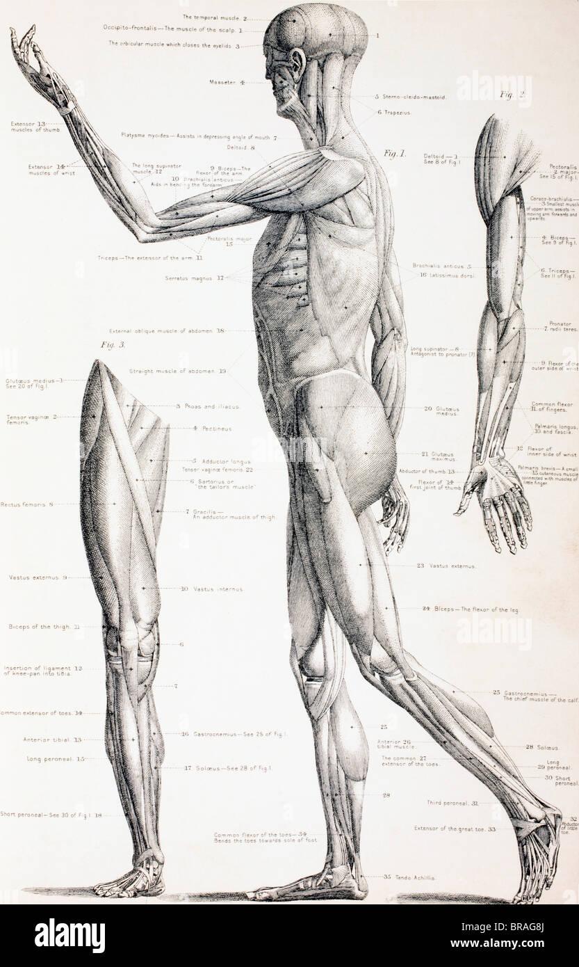 Die Muskeln des menschlichen Körpers Stockfoto, Bild: 31579762 - Alamy