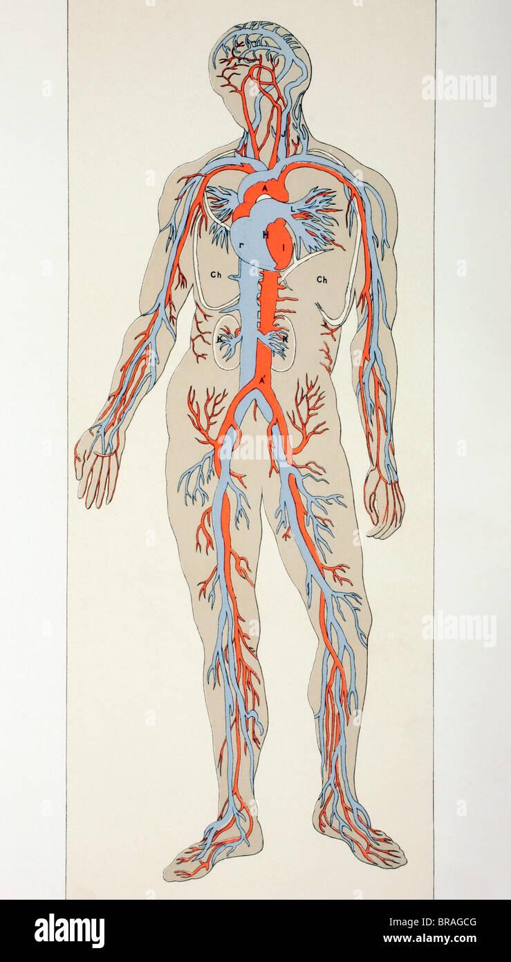 Verteilung der Blutgefäße im menschlichen Körper. Arterien, Venen ...