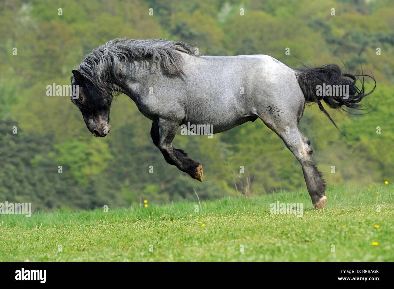 Noriker Pferd (Equus Ferus Caballus), Hengst Ruckeln auf einer Weide. Stockbild