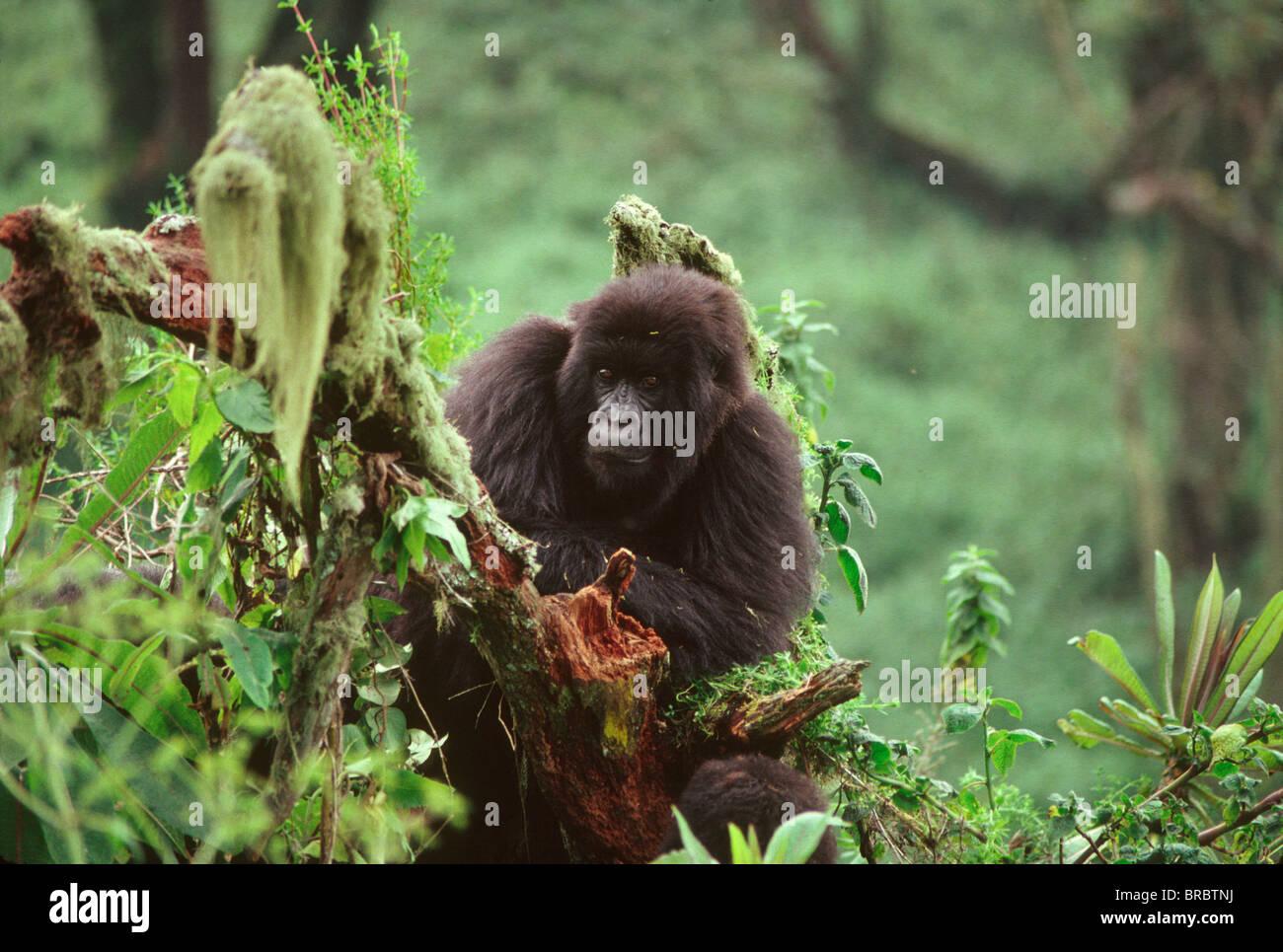 Berg-Gorilla (Gorilla Gorilla Beringei) Juvenile, Virunga-Vulkane, Ruanda Stockbild