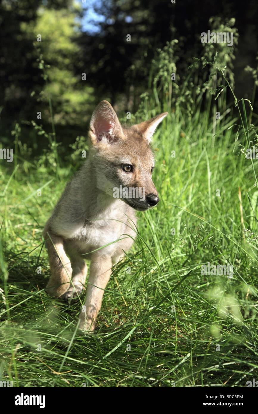 Gefangenschaft Kojote (Canis Latrans) Welpe läuft auf der Wiese; Kalispell, Montana, Vereinigte Staaten von Stockbild