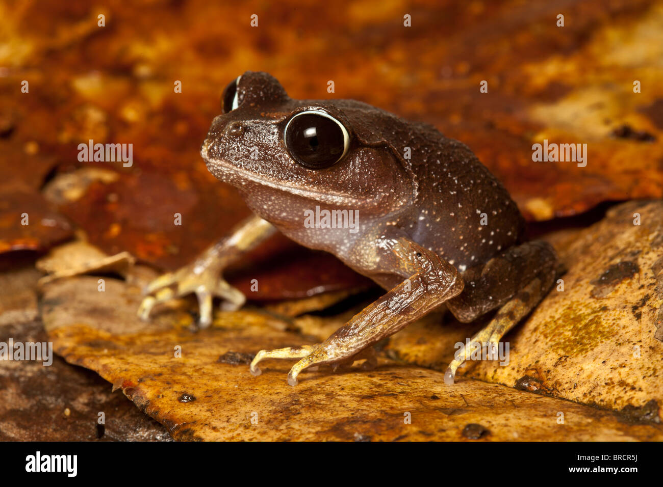 Montane Wurf Frosch, Leptobrachium Montanum, Kinabalu National Park, Sabah, Borneo Stockbild