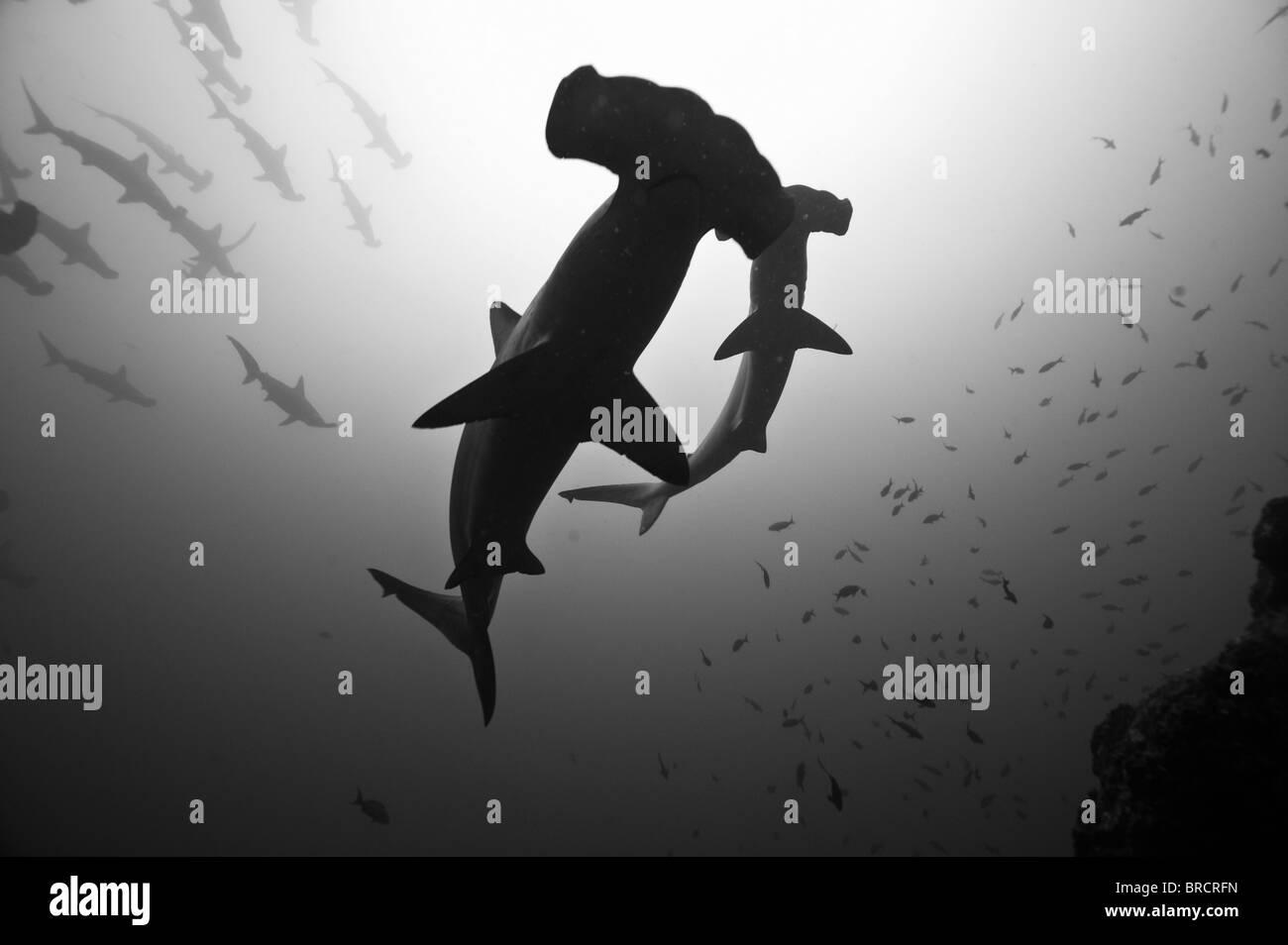 Bogenstirn-Hammerhai, Sphyrna lewinii, Cocos Island, Costa Rica, Ost-Pazifik Stockbild