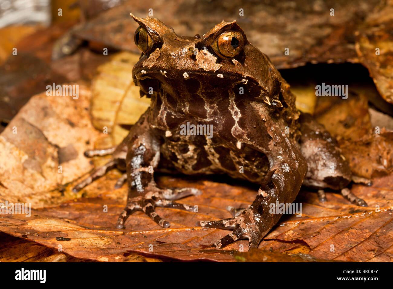 Montane gehörnten Frosch, Megophrys Kobayashii, Kinabalu National Park, Sabah, Borneo Stockbild