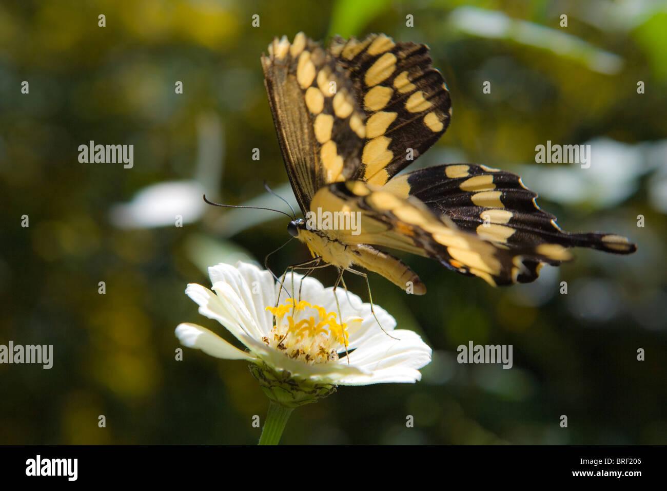 großen Schwalbenschwanz Schmetterling auf einer weißen Zinnia Blume, Trinken Nektar Stockbild
