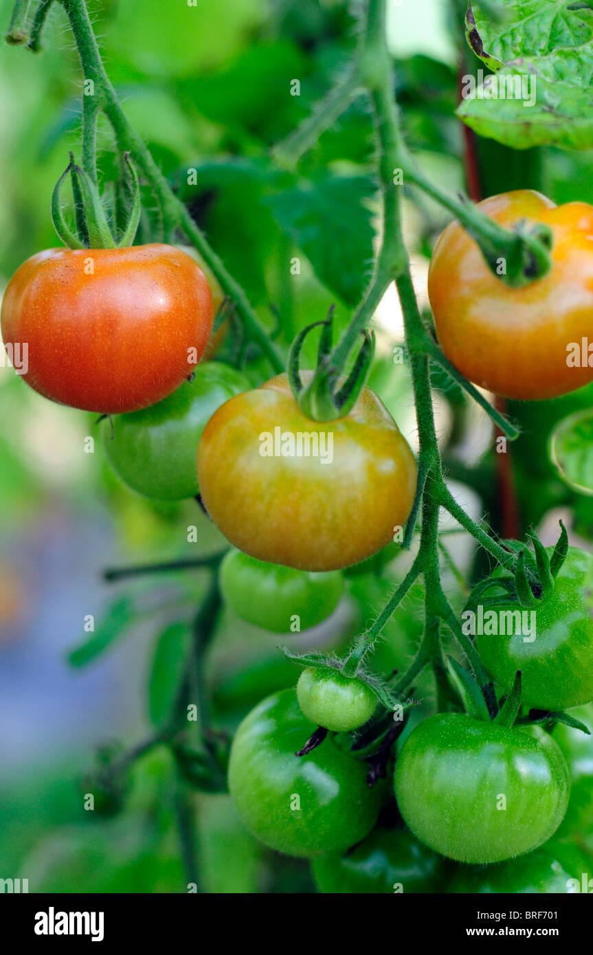 Großbritannien, England, Tomaten an Rebstöcken Stockbild