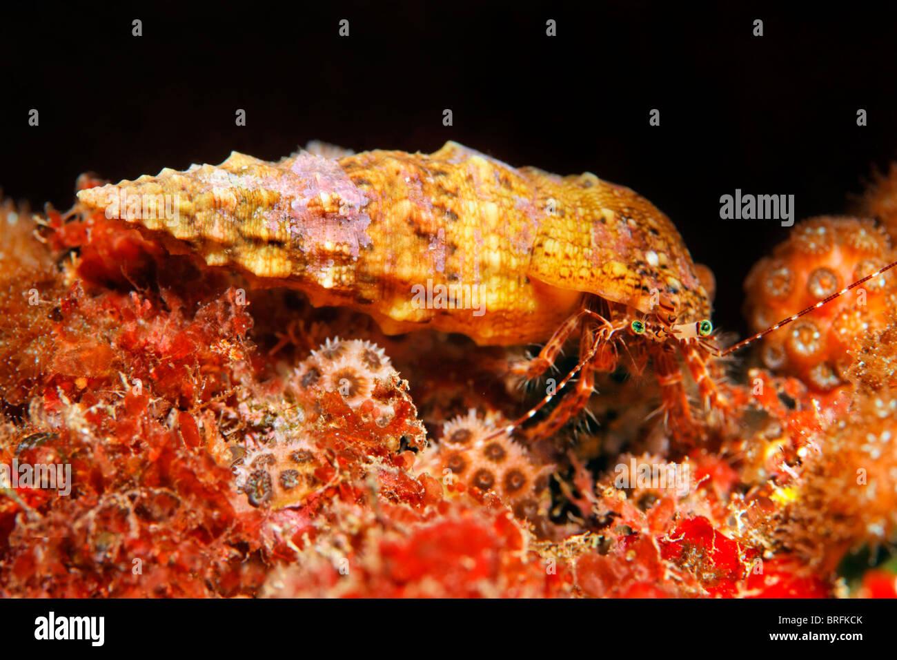 2dea940b838d Gestreifter Rock Einsiedlerkrebs (Pagurus Anachoretus) in eine ...