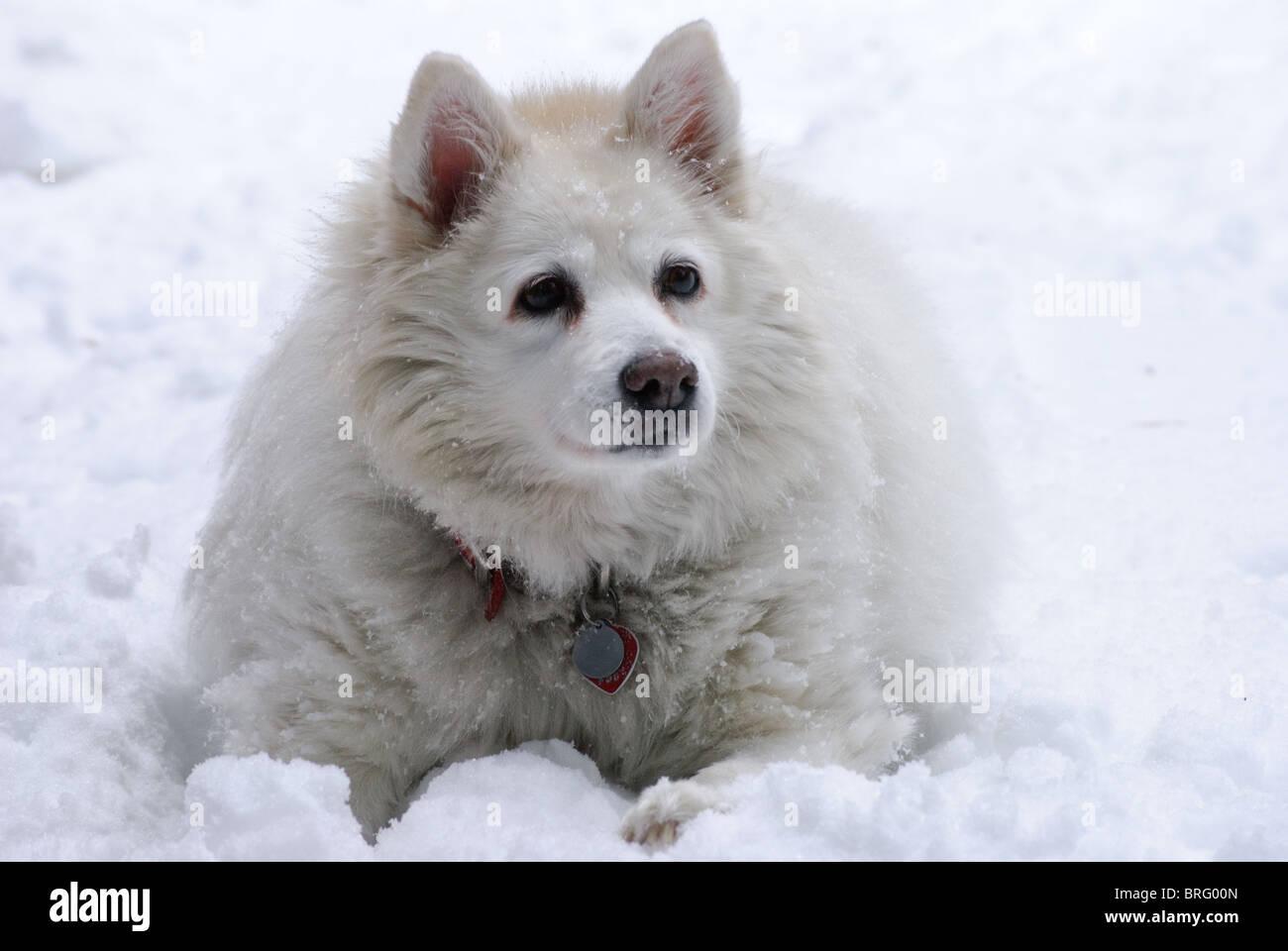 Ein weißer American Eskimo Hund sieht ruhig und friedlich im Schnee Stockfoto