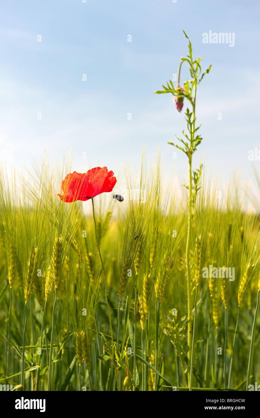 Wildblumen wie Mohn in der Nähe von Kornfeld Stockbild