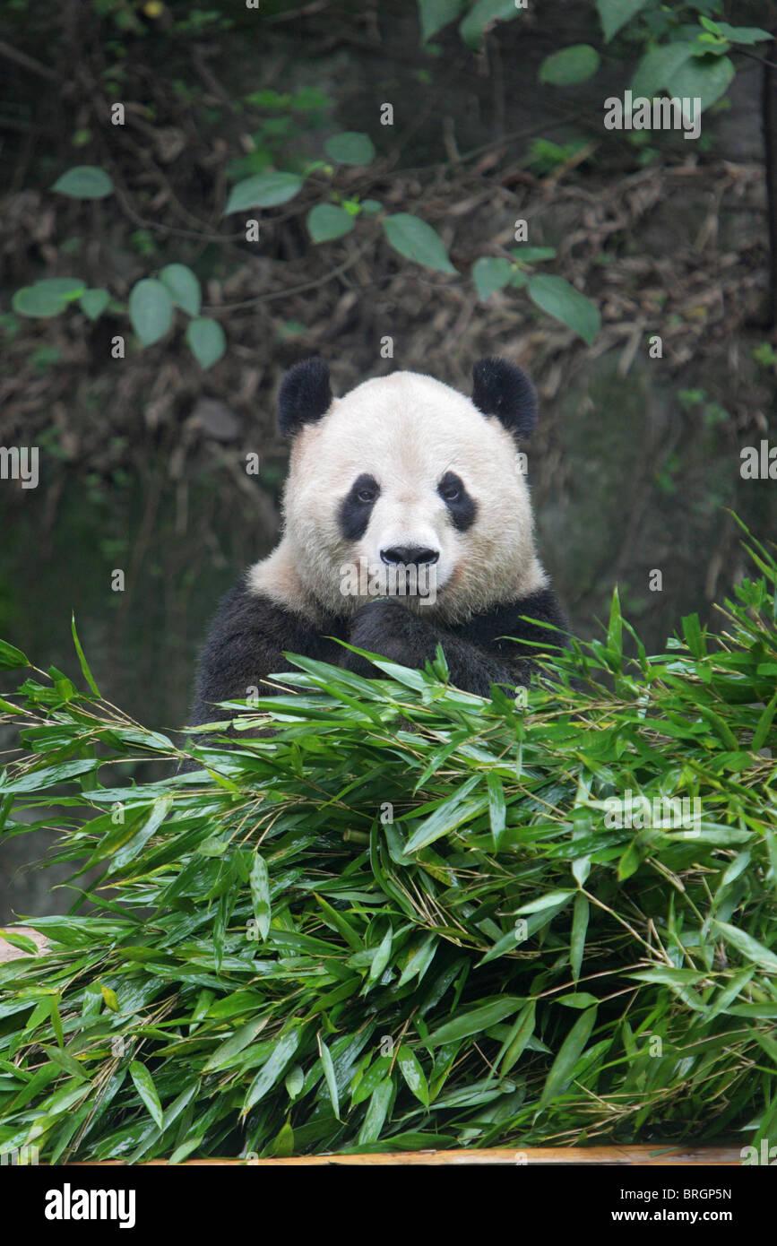 Giant Panda Ailuropoda Melanoleauca Sitzt In Einem Haufen Von Bambus