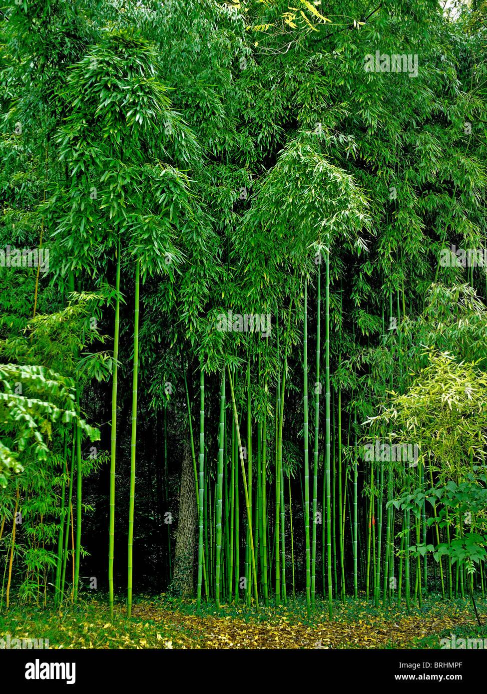 Das Erstaunliche Wachstum Von Bambus Phyllostachys Viridiglaucescens