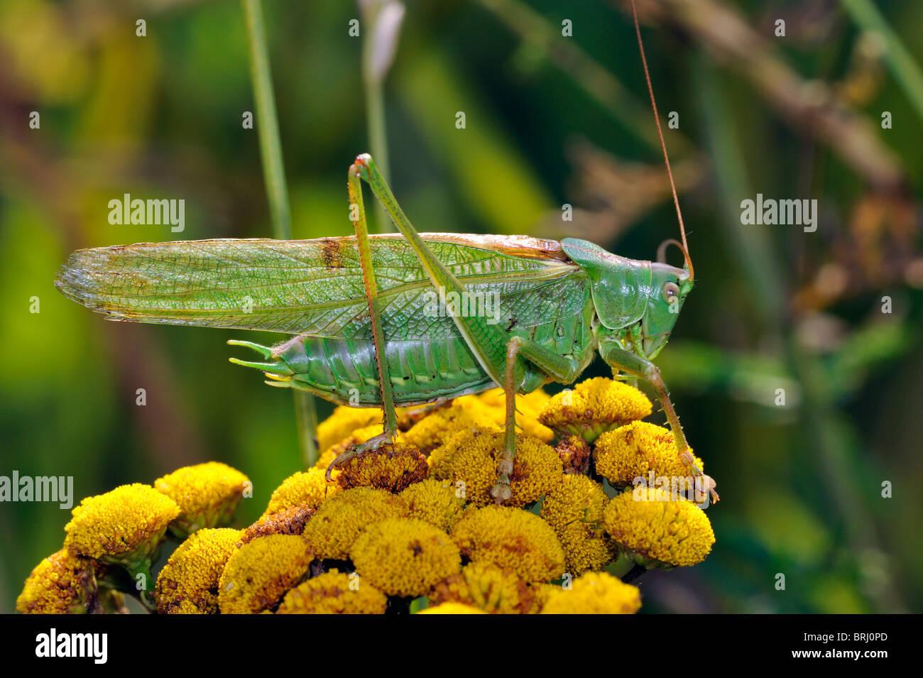 Große grüne Bush-Cricket (Tettigonia Viridissima) auf Rainfarn Blüten Stockbild