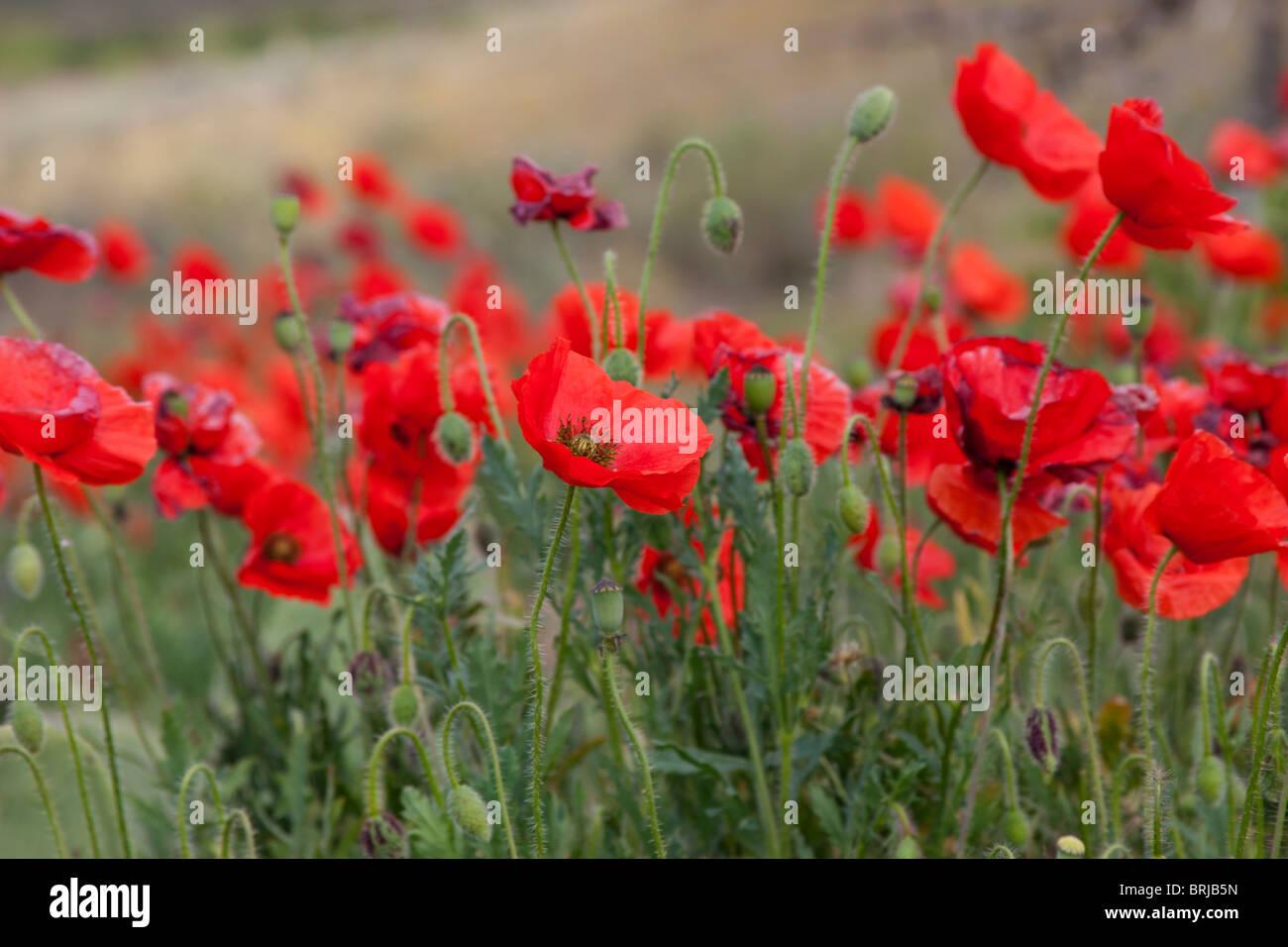 Blume bunt bunte roten Mohn Wildblumen wild Stockbild