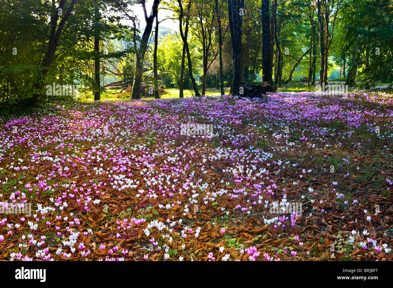 wild wild cyclamen stockfotos wild wild cyclamen bilder alamy. Black Bedroom Furniture Sets. Home Design Ideas