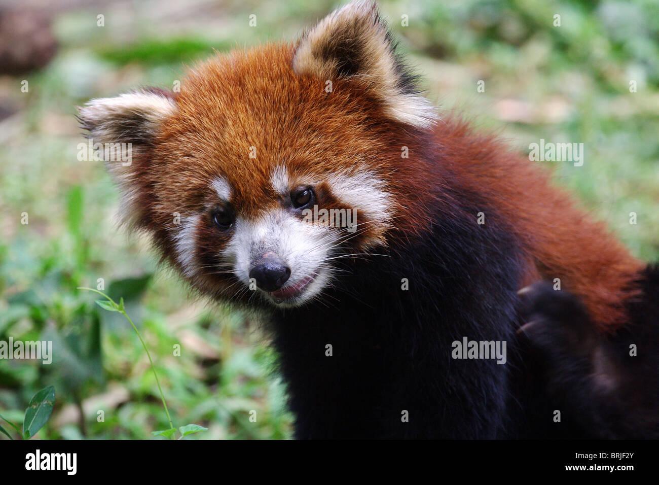 Roter Panda im chinesischen Chengdu Panda Base Stockbild