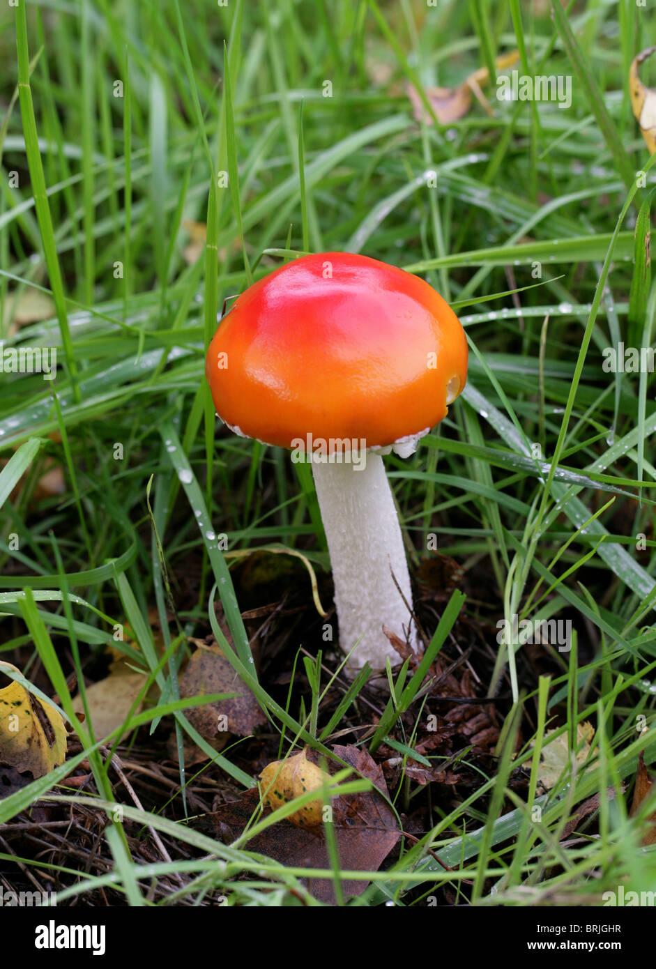 Fliegenpilz, Fliegenpilz, Amanita Muscaria var. Aureola, Amanitaceae. Stockbild