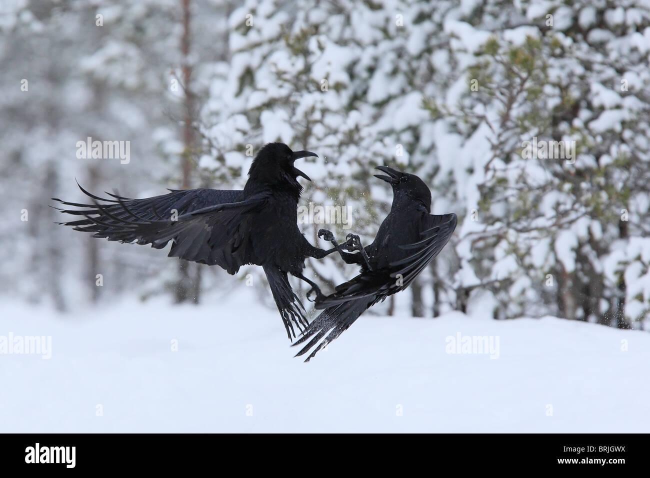 Zwei Kämpfe Raven (Corvus Corax) Stockbild