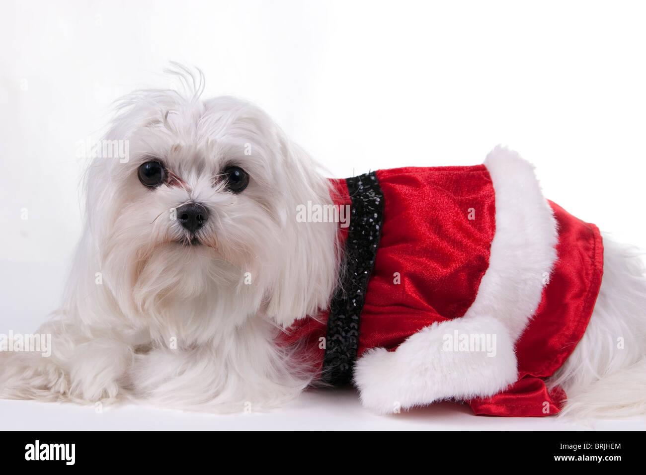 hund verkleidet f r weihnachten stockfotos hund. Black Bedroom Furniture Sets. Home Design Ideas
