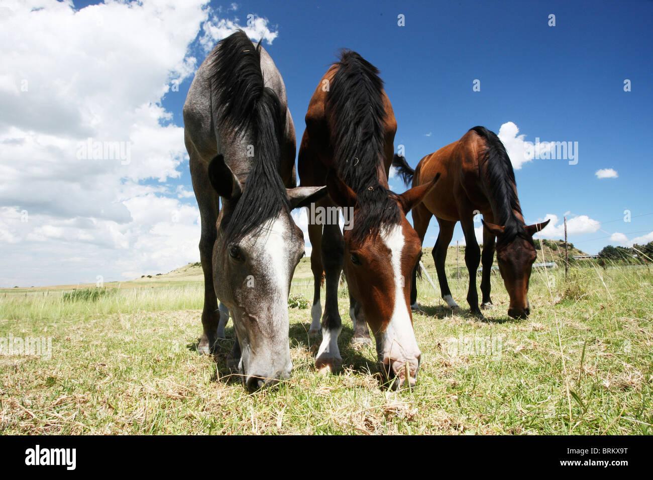Niedrigen Winkel Ansicht junger Pferde grasen auf ein Feld mit zwei stehen nebeneinander und ein weiter hinten Stockbild
