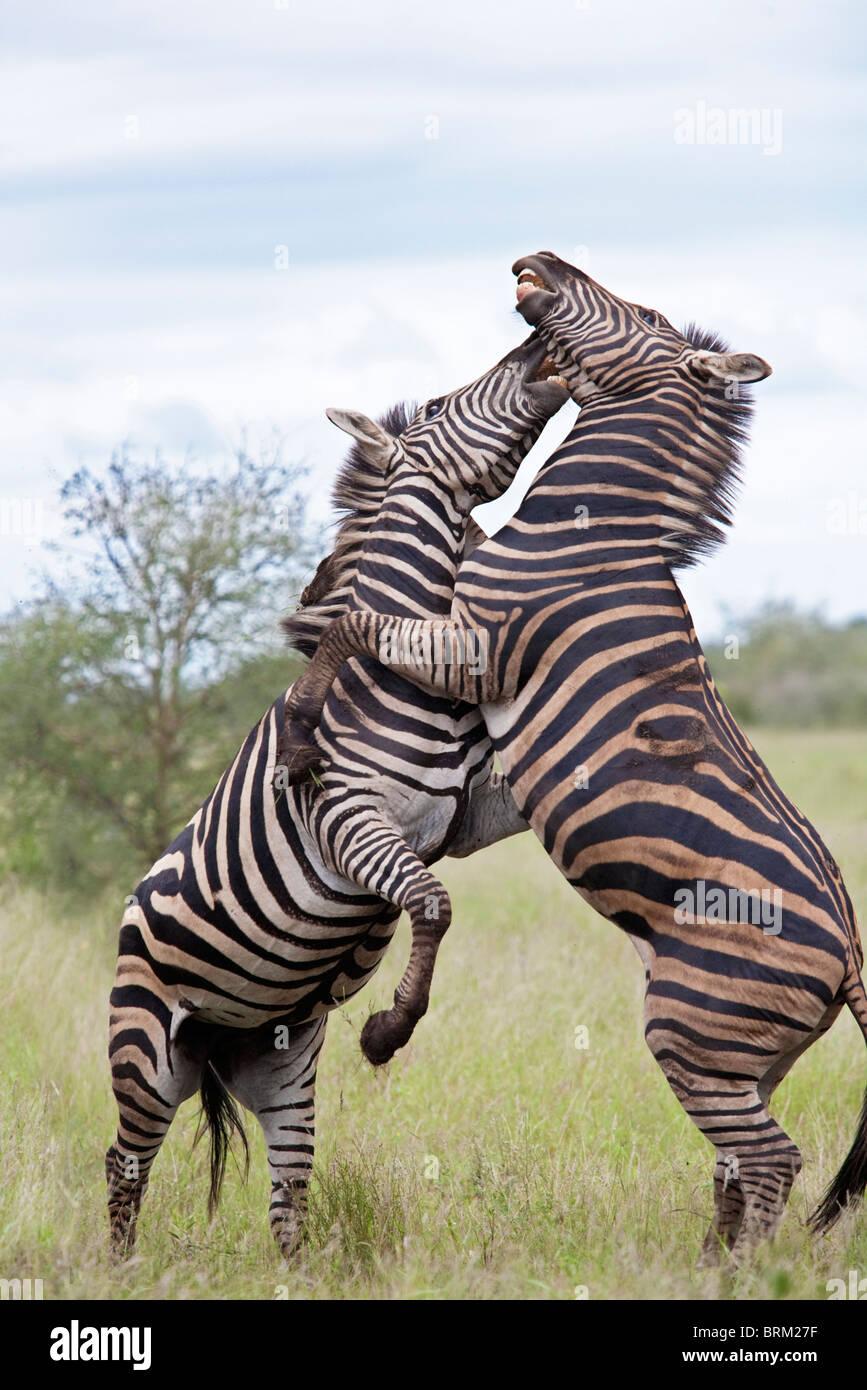 Zwei männliche Zebras auf ihren Hinterbeinen kämpfen und einander beißen Stockbild