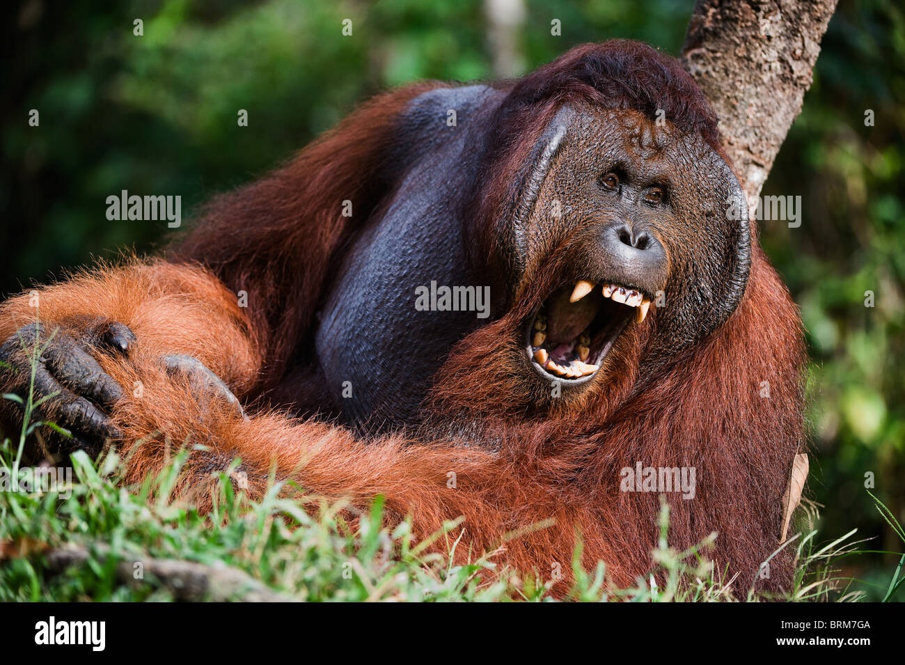 Gähnende Orang-Utan Stockbild