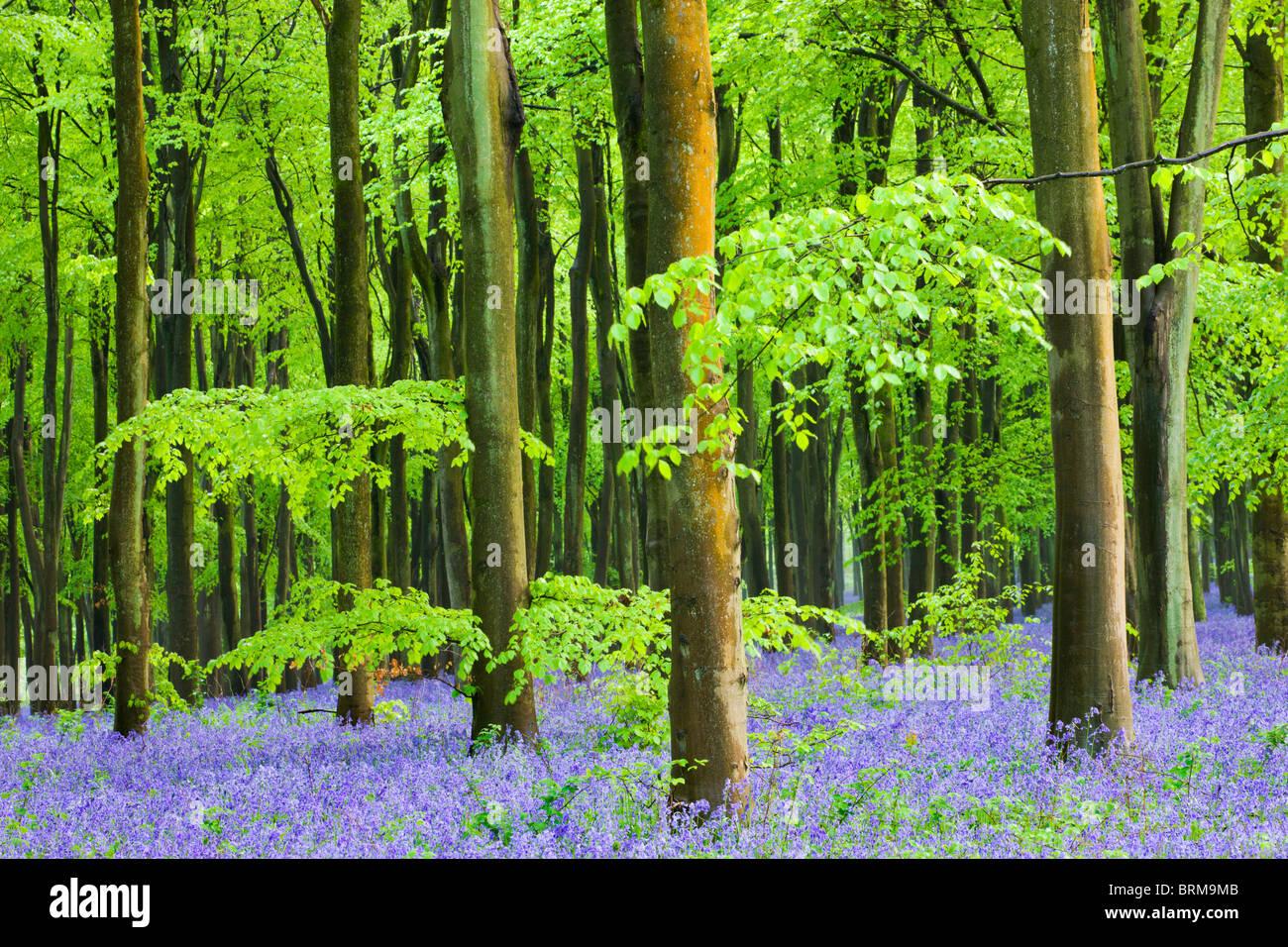Gemeinsame Bluebells (Hyacinthoides non-scripta) Blühende in einem Buche, West Woods, Lockeridge, Wiltshire, Stockbild
