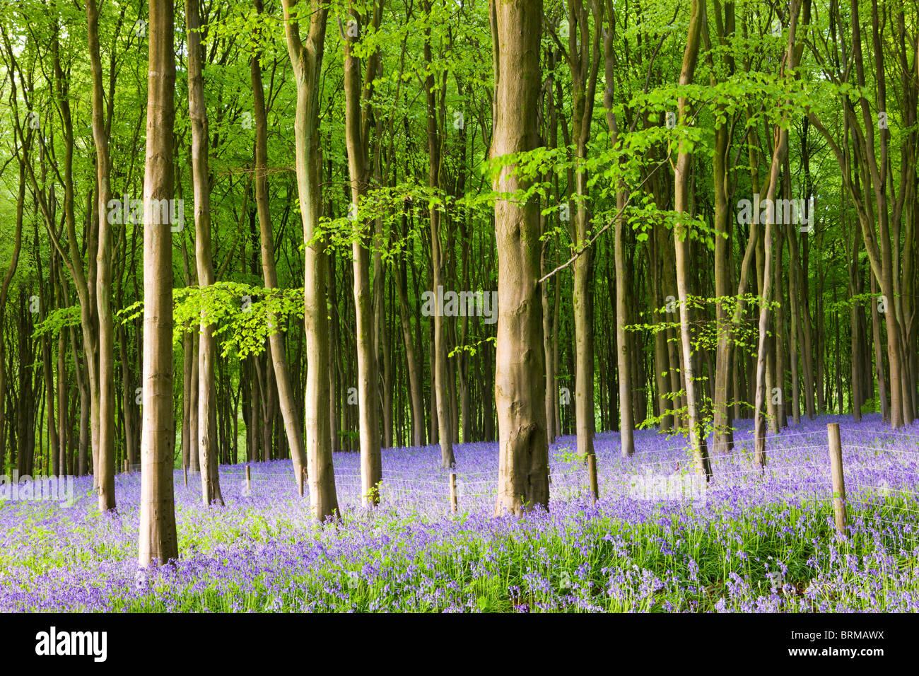 Gemeinsamen Glockenblumen (Hyacinthoides non-Scripta) Blüte im Westen Wald im Frühling, Lockeridge, Marlborough, Stockbild