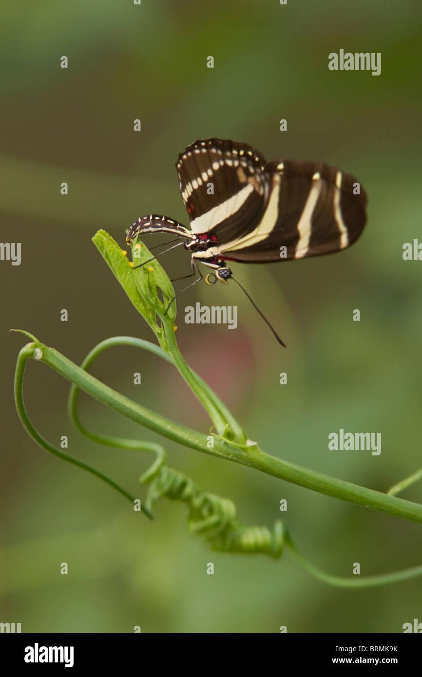 Zebra Longwing Schmetterling Verlegung Eiern auf Leidenschaft Weinstock Stockbild