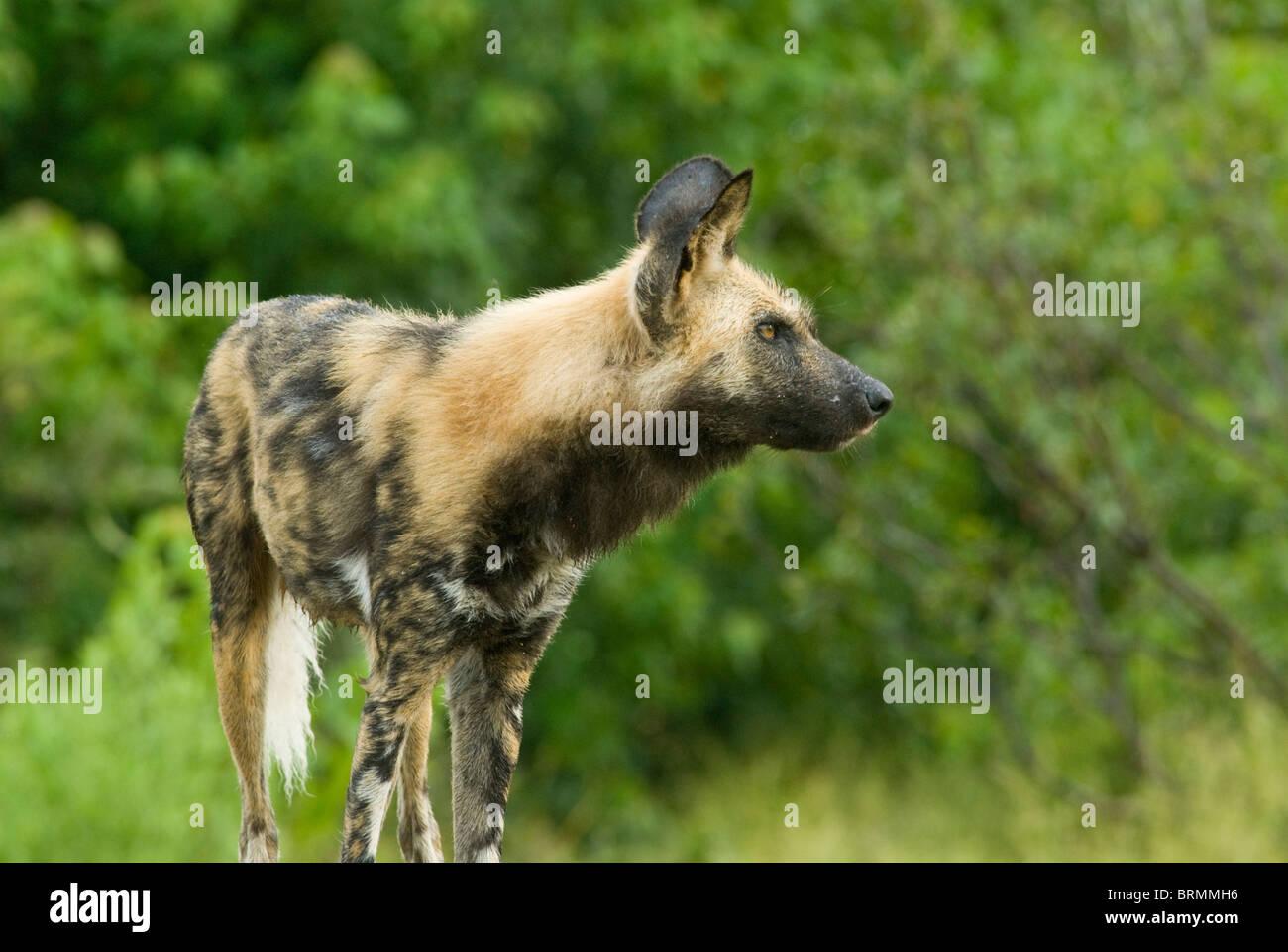 Ein einzelnes wilder Hund, aufmerksam und wachsam Stockbild