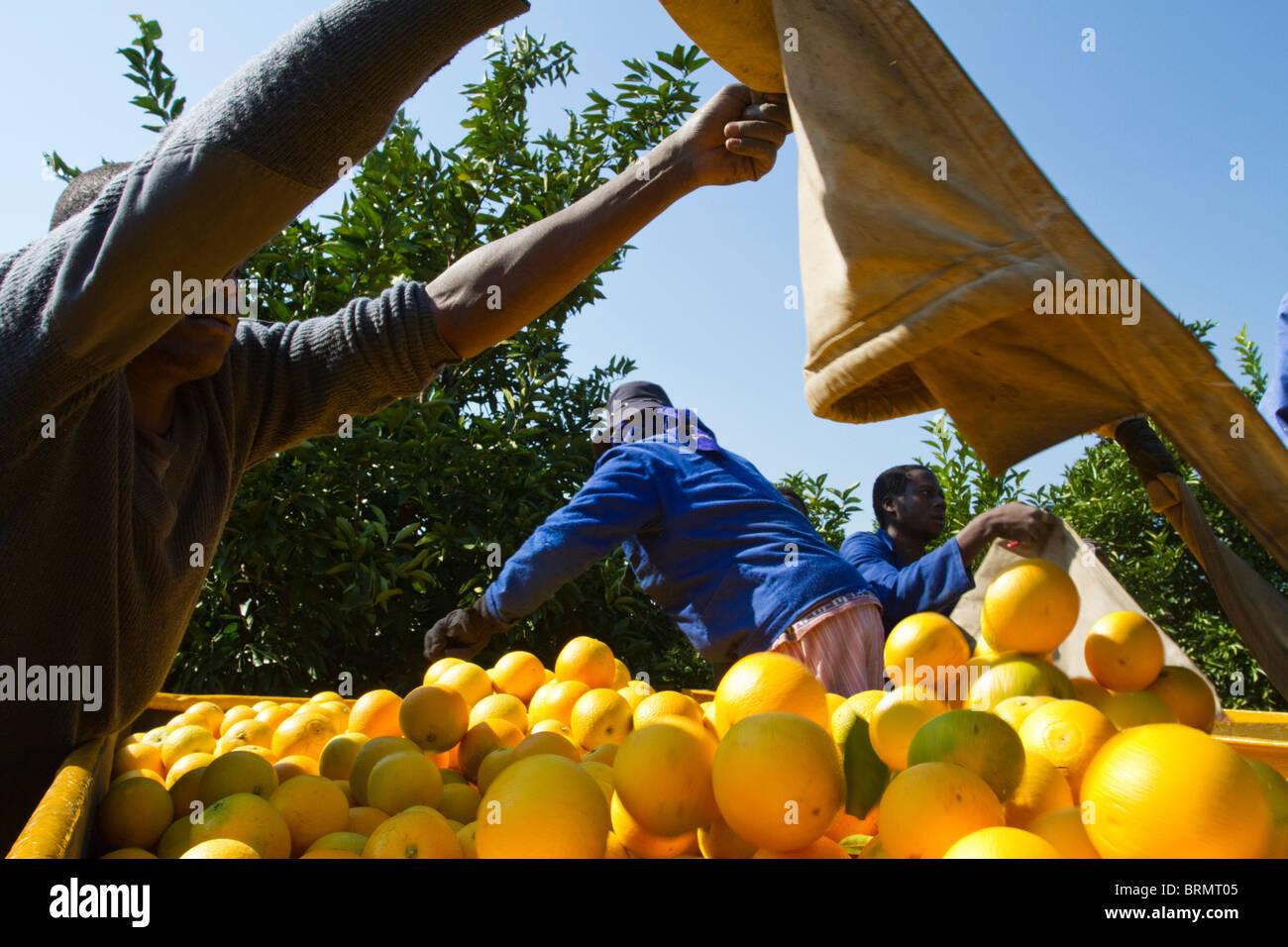 Arbeitnehmer, die einen Beutel mit frisch geerntete Orangen in einen Anhänger zu entleeren Stockbild